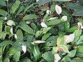 Spathiphyllum Wallisii - Peace Lily Plant at Wayanad (6).jpg