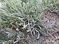 Sphaeromeria cana (7842242718).jpg