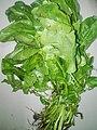 Spinach 3.jpg