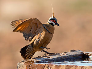 Spinifex pigeon Jim Bendon.jpg