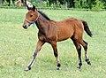 Springover as a foal 2011-06-22.jpg