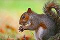 Squirrel in St. James's Park 4.jpg
