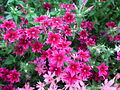 Star Phlox (Phlox twinkle) from Lalbagh Flowershow - August 2012 4699.JPG