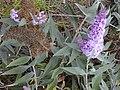 Starr-010717-0053-Buddleja davidii-flower and seed panicles-Kula-Maui (24533036265).jpg