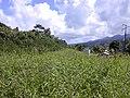 Starr-021012-0068-Pueraria montana var lobata-flowers-Wailua-Maui (23926160893).jpg