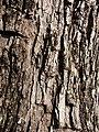 Starr-080417-4091-Jacaranda mimosifolia-bark-Makawao-Maui (24906952715).jpg