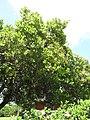 Starr-090618-1279-Anacardium occidentale-habit-Haiku-Maui (24966127435).jpg