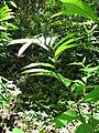 Starr-090623-1466-Costus speciosus-habit in understory-Nahiku-Maui (24671117740).jpg