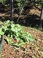 Starr-090810-4159-Citrullus lanatus-young plant in garden-Olinda-Maui (24345161723).jpg