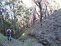 Starr-091127-1510-Jacaranda mimosifolia-habit in gulch with Forest-Olinda-Maui (24695550760).jpg