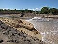 Starr-110312-3127-Thespesia populnea-after tsunami picnic table top torn off-Kanaha Beach-Maui (24961190132).jpg