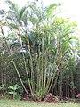 Starr-110330-3646-Chrysalidocarpus lutescens-habit-Garden of Eden Keanae-Maui (24712901139).jpg