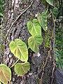 Starr-110330-3652-Philodendron sp-habit-Garden of Eden Keanae-Maui (24712909789).jpg
