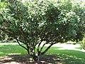 Starr-110330-3837-Litchi chinensis-habit-Garden of Eden Keanae-Maui (26487035197).jpg