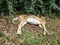 Starr-110715-7502-Eleusine indica-habit with dead deer on road-Olinda Rd Makawao-Maui (24469276484).jpg