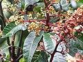 Starr-130312-2213-Mangifera indica-Rapoza flowers-Pali o Waipio Huelo-Maui (25088687482).jpg