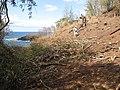 Starr-130319-3083-Thevetia peruviana-area cleared with Kim-Kilauea Pt NWR-Kauai (24577974884).jpg