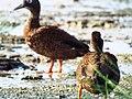 Starr-130911-0986-Cyperus laevigatus-habit with Laysan Ducks-E Lake-Laysan (24927649880).jpg