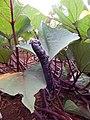 Starr-141217-2952-Ipomoea batatas-leaves with sweet potato hornworm Agrius cingulata larva-Lua Makika-Kahoolawe (24618695084).jpg