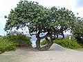 Starr 010309-0520 Hibiscus tiliaceus.jpg