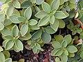 Starr 010704-0011 Peperomia blanda.jpg