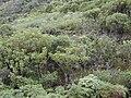 Starr 010820-0023 Schefflera actinophylla.jpg
