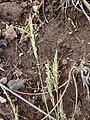 Starr 030419-0177 Anthoxanthum odoratum.jpg