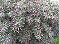 Starr 031108-0124 Ficus elastica.jpg