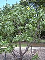 Starr 040318-0049 Hibiscus brackenridgei subsp. brackenridgei.jpg