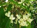Starr 050216-4045 Pittosporum undulatum.jpg