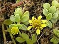 Starr 050519-1774 Melanthera integrifolia.jpg
