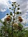 Starr 060721-9554 Leucaena leucocephala.jpg