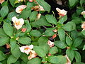 Starr 070906-8691 Impatiens sp..jpg