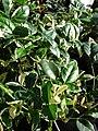 Starr 080103-1172 Pandorea jasminoides.jpg