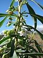 Starr 090121-0925 Chenopodium oahuense.jpg