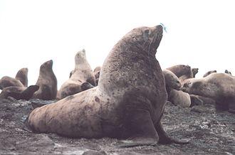 Steller sea lion - Male