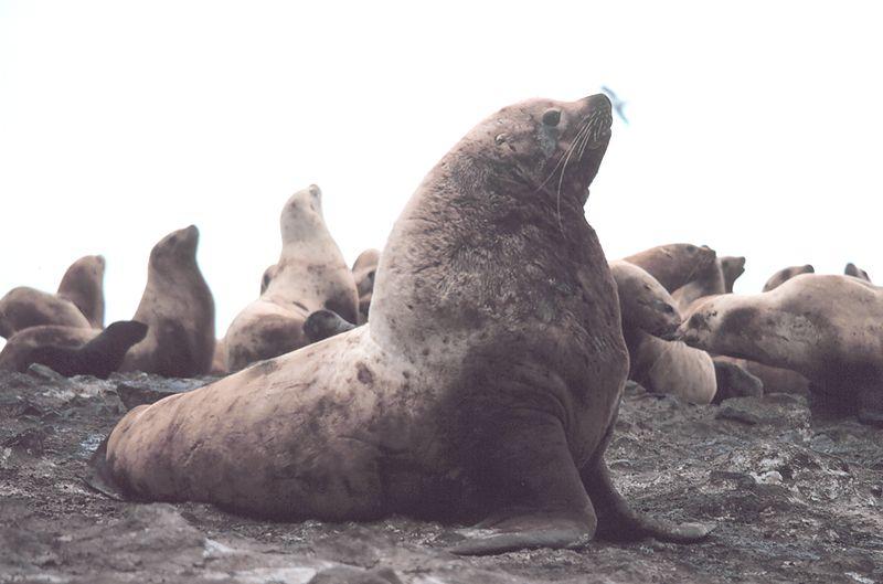 File:Steller sea lion bull.jpg