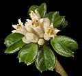 Stenanthemum nanum - Flickr - Kevin Thiele.jpg