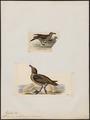 Stercorarius antarctica - 1700-1880 - Print - Iconographia Zoologica - Special Collections University of Amsterdam - UBA01 IZ17900196.tif