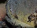 Stingless Bees (Tetrigona binghami) (15495450460).jpg