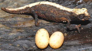 Brookesia - Brookesia desperata female, stress-coloured, with two recently laid eggs.