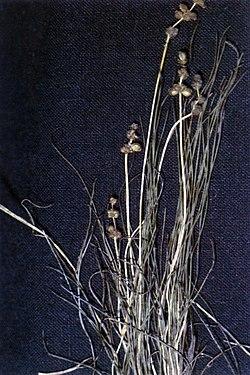 Stuckenia filiformis ssp filiformis NRCS-1.jpg