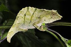 Stump-tailed chameleons Rhampholeon moyeri.jpg