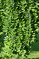 Styphnolobium japonicum 4556.jpg
