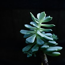 how long do succulents take to grow