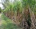 Sugarcane farm in Punjab.jpg