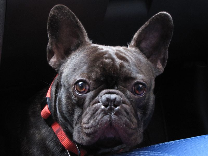 Frenchie Dog For Free