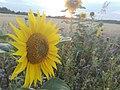 Sunflower Dortmund 47.jpg