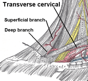 Transverse cervical veins - Superficial and deep branches from the transverse cervical artery (picture is of artery, not vein. However, vein is in similar location.)