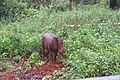 Sus scrofa - Wild boar during Periyar butterfly survey at Sabarimala, 2014 (31).jpg